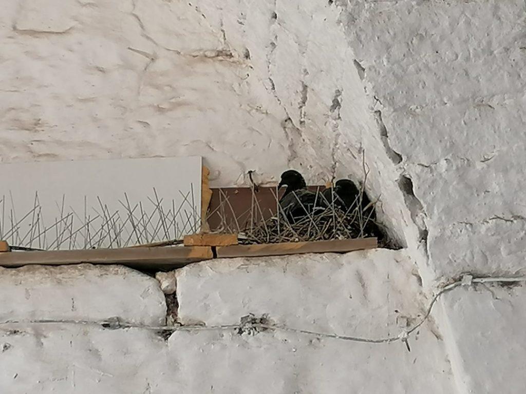 Cisternino il centro invaso dai piccioni