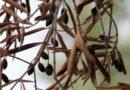 Xylella, 29 olivi infetti a Cisternino